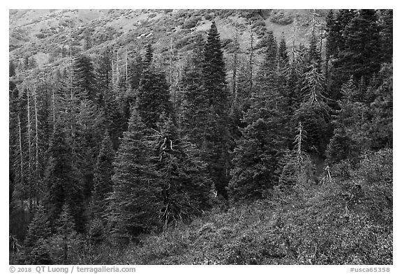 Firs and shrubs with autumn colors remnants, Snow Mountain. Berryessa Snow Mountain National Monument, California, USA (black and white)