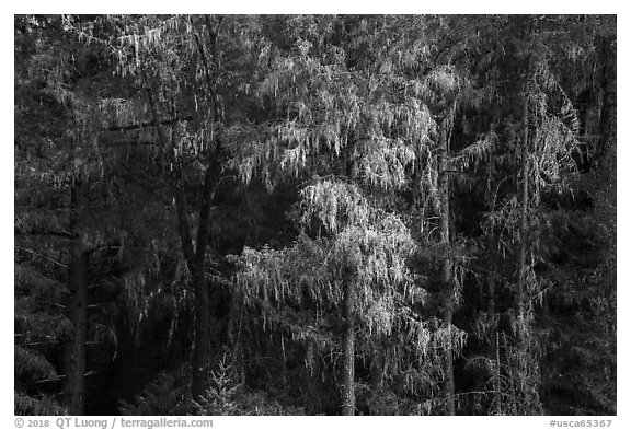Trees drapped in moss near Bear Creek. Berryessa Snow Mountain National Monument, California, USA (black and white)