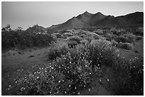 Spring wildflowers and mountains at dusk. Mojave Trails National Monument, California, USA ( black and white)
