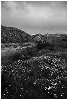 Wildflowers at dawn with distant snowy San Giorgono Mountain. Sand to Snow National Monument, California, USA ( black and white)