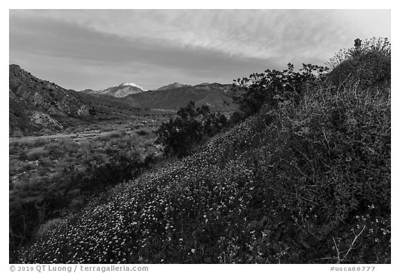 Wildflowers at sunrise with distant snowy San Giorgono Mountain. Sand to Snow National Monument, California, USA (black and white)