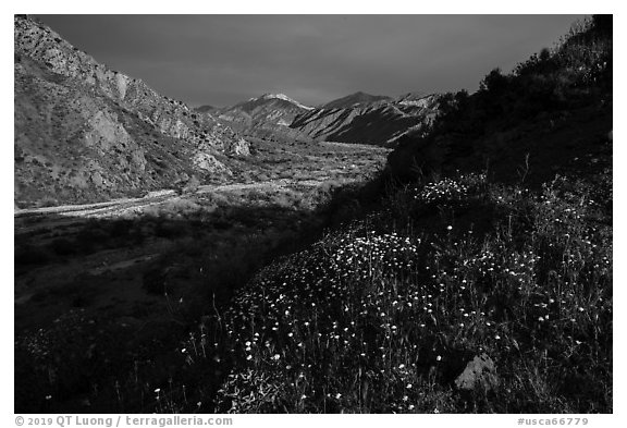 Wildflowers and San Giorgono Mountains, Mission Creek Preserve. Sand to Snow National Monument, California, USA (black and white)