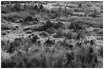 Riparian desert vegetation in the spring, Mission Creek. Sand to Snow National Monument, California, USA ( black and white)