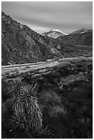 Yucca, wildflowers and San Giorgono Mountain, Mission Creek Preserve. Sand to Snow National Monument, California, USA ( black and white)