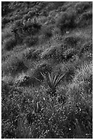 Yucca and wildflowers in bloom, Mission Creek. Sand to Snow National Monument, California, USA ( black and white)