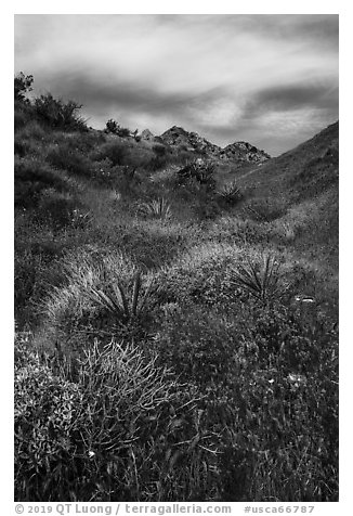 Desert in bloom, Mission Creek. Sand to Snow National Monument, California, USA (black and white)