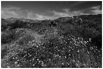 Wildflowers and yuccas on desert floor. Sand to Snow National Monument, California, USA ( black and white)