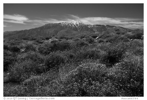 Brittlebush in bloom and San Jacinto Mountains. Sand to Snow National Monument, California, USA (black and white)