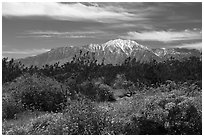 Blooming Brittlebush and snowy San Jacinto Peak. Sand to Snow National Monument, California, USA ( black and white)