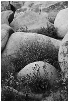 Wildflowers growing among boulders. Sand to Snow National Monument, California, USA ( black and white)