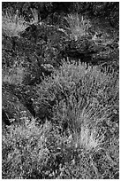 Wildflowers and lava, Fleener Chimneys. Lava Beds National Monument, California, USA ( black and white)