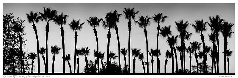 Row of palm trees at sunset. Los Angeles, California, USA (black and white)