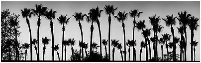 Row of palm trees at sunset. Los Angeles, California, USA (Panoramic black and white)