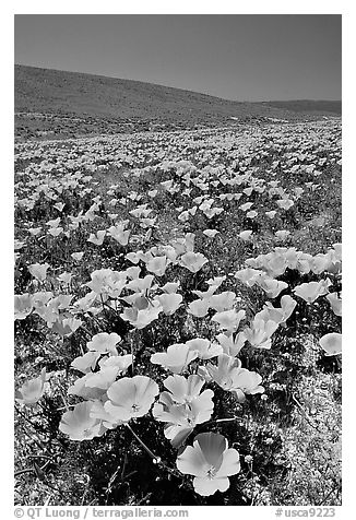 California Poppies in spring, hills W of the Preserve. Antelope Valley, California, USA (black and white)