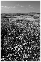 Yellow and purple desert flowers on mud flats. Antelope Valley, California, USA (black and white)