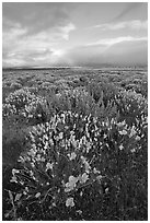 Lupines and California Poppies. Antelope Valley, California, USA (black and white)