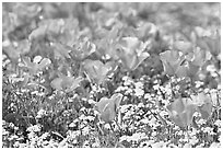 Close up of California Poppies. Antelope Valley, California, USA (black and white)
