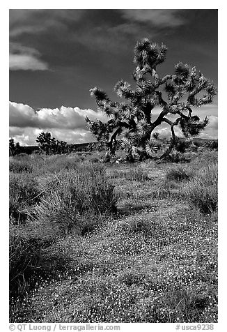 Yellow desert Marygold and Joshua Tree. Antelope Valley, California, USA (black and white)