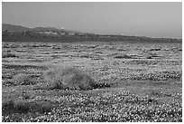 Meadow covered with poppies, sage bushes, and Tehachapi Mountains at sunset. Antelope Valley, California, USA (black and white)