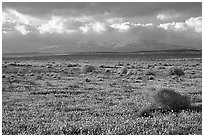 Meadow covered with poppies and sage bushes. Antelope Valley, California, USA (black and white)