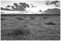 Meadow covered with poppies and sage bushes at sunset. Antelope Valley, California, USA (black and white)
