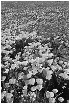 Field of California Poppies and purple flowers. Antelope Valley, California, USA (black and white)