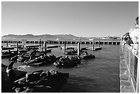 Tourists watch Sea Lions at Pier 39, late afternoon. San Francisco, California, USA ( black and white)