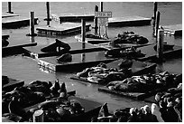 California Sea Lions at Pier 39, late afternoon. San Francisco, California, USA ( black and white)