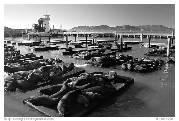 California Sea Lions at Pier 39, late afternoon. San Francisco, California, USA (black and white)
