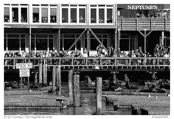 Tourists watching Sea Lions at Pier 39, afternoon. San Francisco, California, USA (black and white)