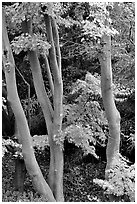 Trees in fall colors, Japanese Garden, Golden Gate Park. San Francisco, California, USA ( black and white)