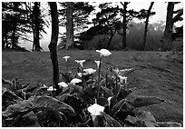 Calla Lily flowers and trees in fog, Golden Gate Park. San Francisco, California, USA (black and white)