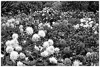Multicolored dalhia flowers, Golden Gate Park. San Francisco, California, USA ( black and white)