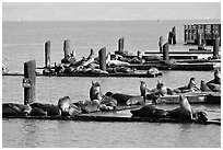 Sea Lions, Fisherman's Wharf. San Francisco, California, USA ( black and white)
