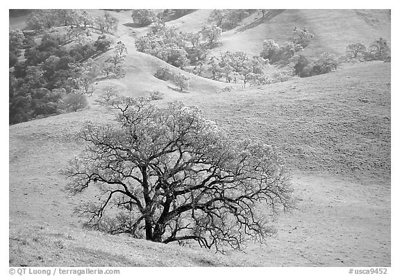 Oak trees and verdant hills in early spring, Sunol Regional Park. California, USA (black and white)