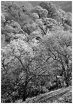 Oak trees with fall colors,  Sunol Regional Park. California, USA (black and white)