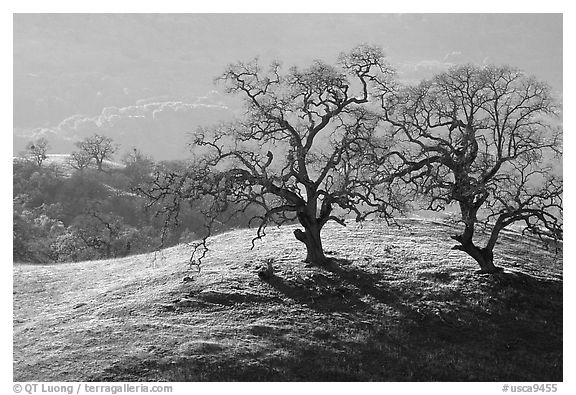 Dendritic branches of Oak trees on hillside curve, early spring, Joseph Grant County Park. San Jose, California, USA (black and white)