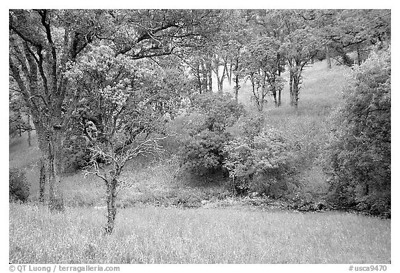 Meadow with flowers,  creek, and trees in spring, Mt Diablo State Park. California, USA (black and white)