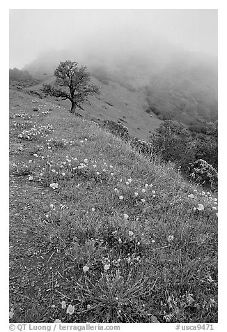 Poppies and fog near the summit, Mt Diablo State Park. California, USA (black and white)
