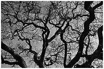 Oak tree in spring. Menlo Park,  California, USA (black and white)