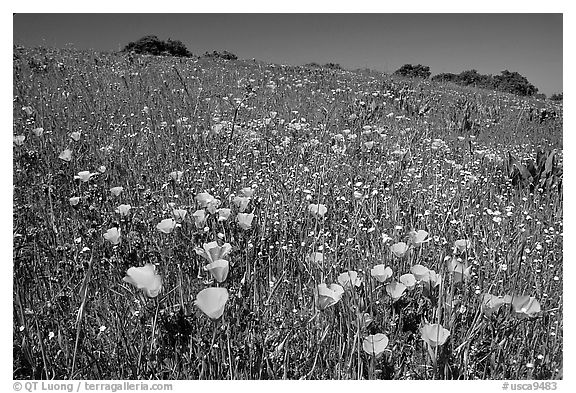 Poppies in the spring, Russian Ridge Open Space Preserve. Palo Alto,  California, USA (black and white)