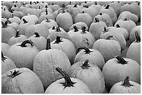 Pumpkins in a patch, near Pescadero. San Mateo County, California, USA ( black and white)