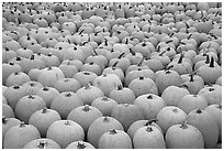 Pumpkin patch, near Pescadero. San Mateo County, California, USA ( black and white)
