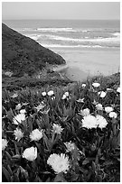 Iceplant flowers and Ocean. San Mateo County, California, USA (black and white)