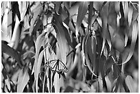 Monarch butterfly in Eucalyptus tree, Natural Bridges State Park. Santa Cruz, California, USA ( black and white)