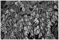 Cluster of Monarch butterflies, Natural Bridges State Park. Santa Cruz, California, USA ( black and white)