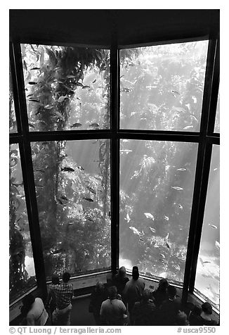 Kelp exhibit, Monterey Aquarium, Monterey. Monterey, California, USA (black and white)