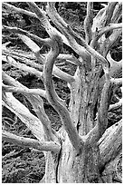 Tree skeleton. Point Lobos State Preserve, California, USA (black and white)