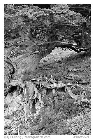 Roots of Veteran cypress tree. Point Lobos State Preserve, California, USA (black and white)