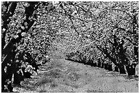 Orchards trees in bloom, San Joaquin Valley. California, USA (black and white)